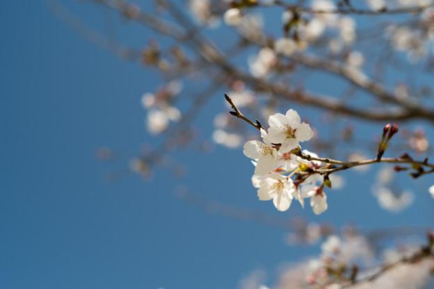 昭和記念公園【ふれあい広場:サクラのアップ】3