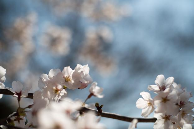 Photos: 昭和記念公園【ふれあい広場:サクラのアップ】4