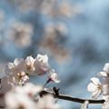 昭和記念公園【ふれあい広場:サクラのアップ】4