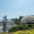 昭和記念公園【カナール脇の大島桜】1