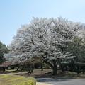 昭和記念公園【カナール脇の大島桜】2