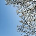 昭和記念公園【カナール脇の大島桜のアップ】3