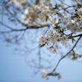 昭和記念公園【カナール脇の大島桜のアップ】4