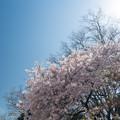 新宿御苑【サクラ:アメリカ】1