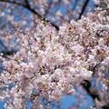 新宿御苑【サクラ:アメリカ】2