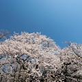 新宿御苑【サクラ:染井吉野】1