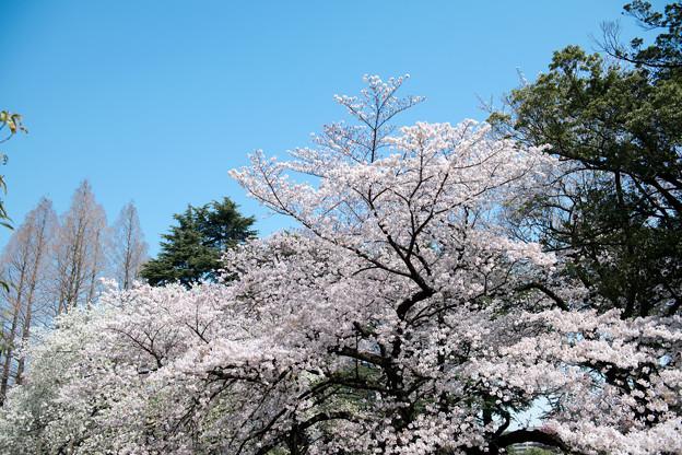 新宿御苑【サクラ:染井吉野】4