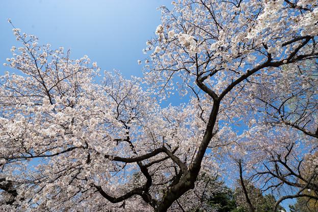 新宿御苑【サクラ:染井吉野】5