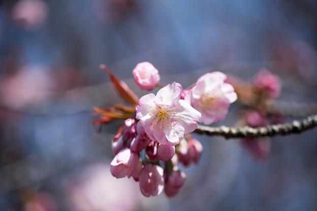 新宿御苑【サクラ:長州緋桜】1