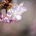 新宿御苑【サクラ:長州緋桜】2