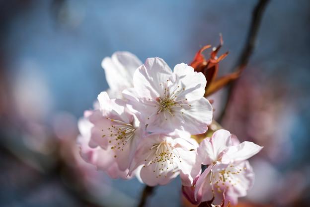 新宿御苑【サクラ:長州緋桜】3