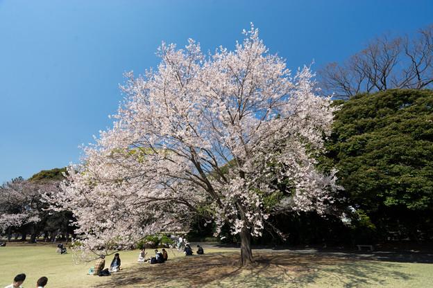 新宿御苑【サクラ:江戸彼岸】2