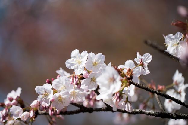 新宿御苑【サクラ:小汐山】1