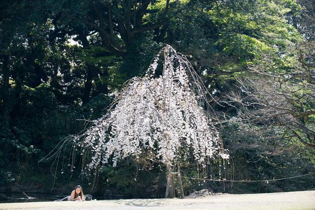 新宿御苑【玉藻池:枝垂れ桜】1