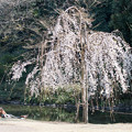 新宿御苑【玉藻池:枝垂れ桜】2