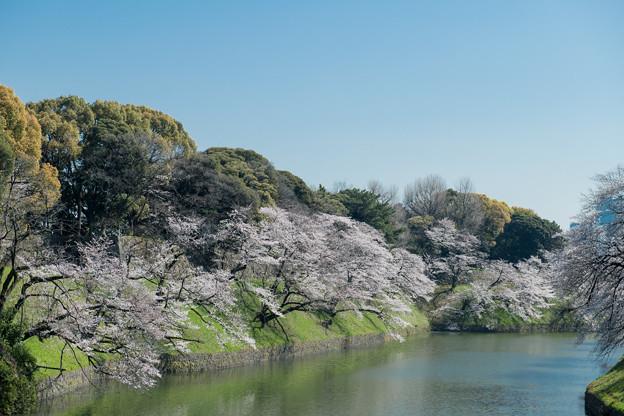 【千鳥ヶ淵緑道の桜】2