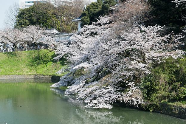 【千鳥ヶ淵緑道の桜】3