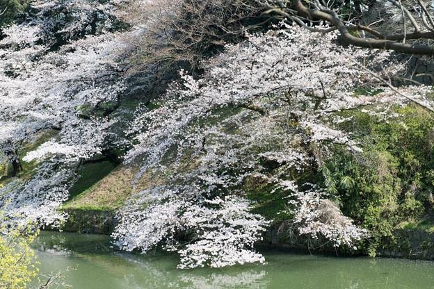 【千鳥ヶ淵緑道の桜】4