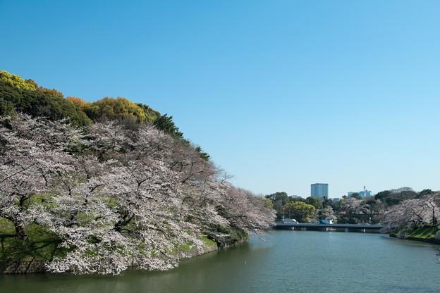 【千鳥ヶ淵緑道の桜】5