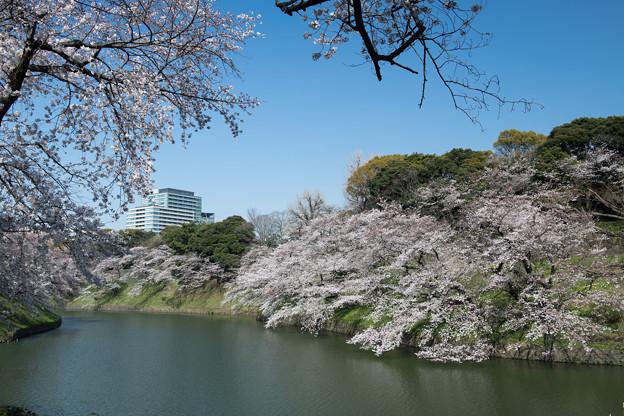 【千鳥ヶ淵緑道の桜】6