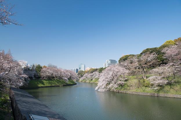 【千鳥ヶ淵緑道の桜】7