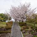 Photos: 近所の緑道【テリタビーズ公園の染井吉野】1