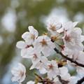 Photos: 近所の緑道【テリタビーズ公園の染井吉野】2