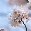 Photos: 近所の緑道【テリタビーズ公園の染井吉野】3
