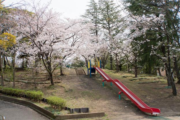 近所の緑道【テリタビーズ公園の染井吉野】4