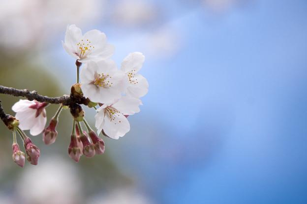 Photos: 近所の緑道【テリタビーズ公園の染井吉野】6