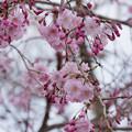 近所の緑道【緑道沿いの枝垂れ桜】1