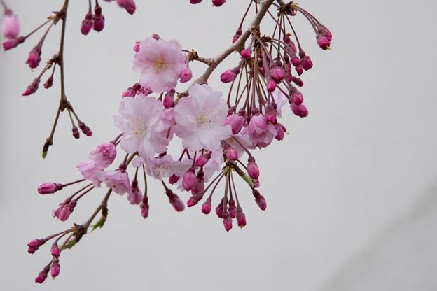近所の緑道【緑道沿いの枝垂れ桜】2