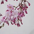 Photos: 近所の緑道【緑道沿いの枝垂れ桜】2