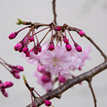 Photos: 近所の緑道【緑道沿いの枝垂れ桜】3
