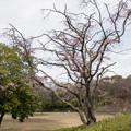 Photos: 近所の緑道【鴨池公園の枝垂れ桜】1