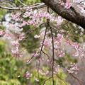 近所の緑道【鴨池公園の枝垂れ桜】2