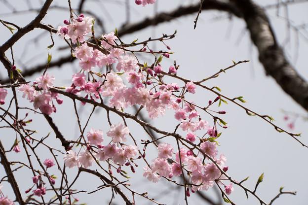 近所の緑道【鴨池公園の枝垂れ桜】3