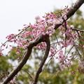 近所の緑道【鴨池公園の枝垂れ桜】4