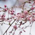 近所の緑道【鴨池公園の枝垂れ桜】5
