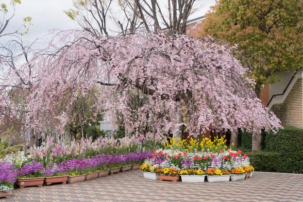 近所の緑道【えだきん商店街の枝垂れ桜】1
