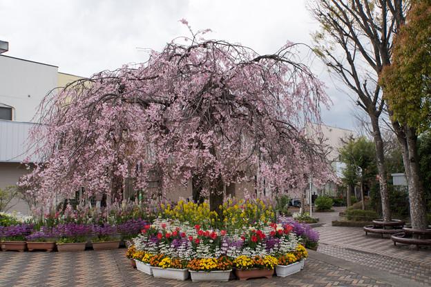 近所の緑道【えだきん商店街の枝垂れ桜】2