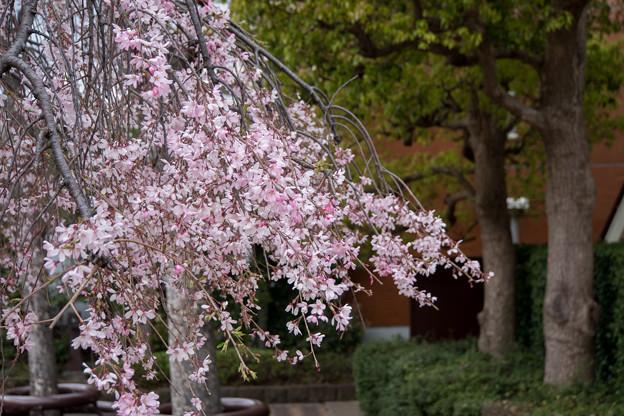 近所の緑道【えだきん商店街の枝垂れ桜】3