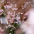 近所の緑道【えだきん商店街の枝垂れ桜】5