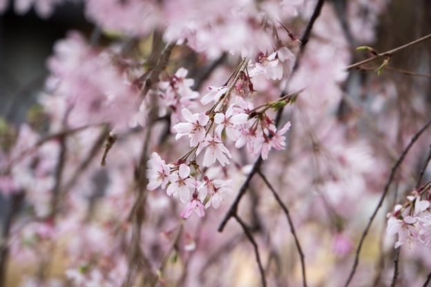 近所の緑道【えだきん商店街の枝垂れ桜】6