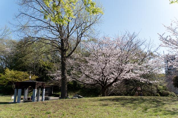 近所のサクラ【テリタビーズ公園】2