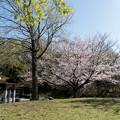 Photos: 近所のサクラ【テリタビーズ公園】2