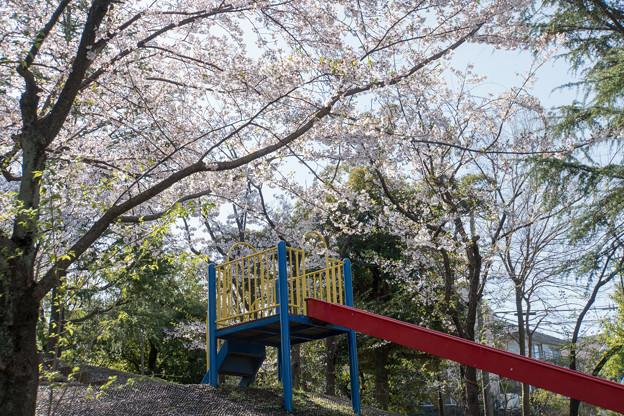 Photos: 近所のサクラ【テリタビーズ公園】3