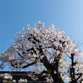 Photos: 近所のサクラ【住宅街の染井吉野】