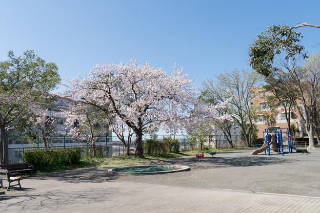 近所のサクラ【市ケ尾第二公園】1