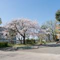 Photos: 近所のサクラ【市ケ尾第二公園】1